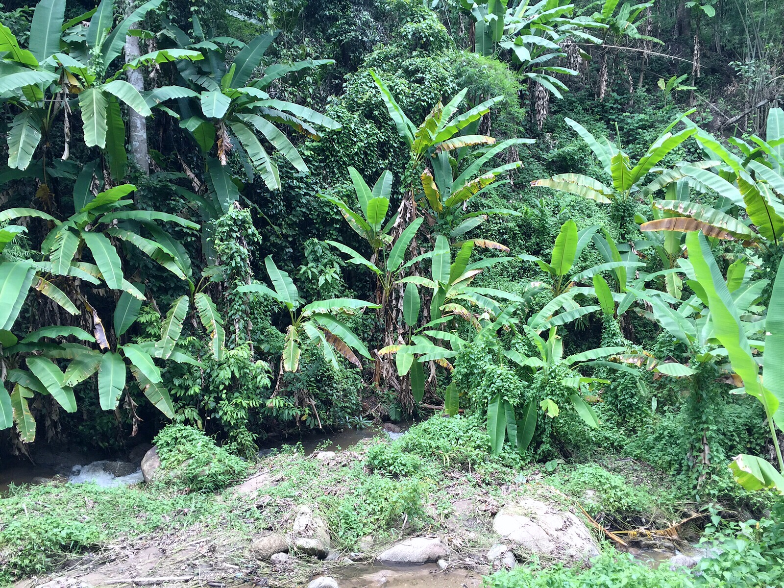 palm trees, jack fruit, banana trees and lianas