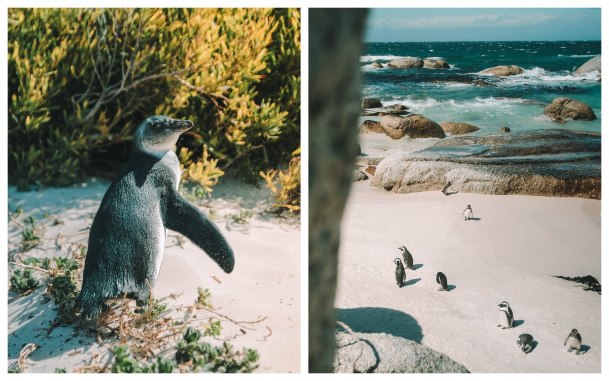 penguins colony cape point