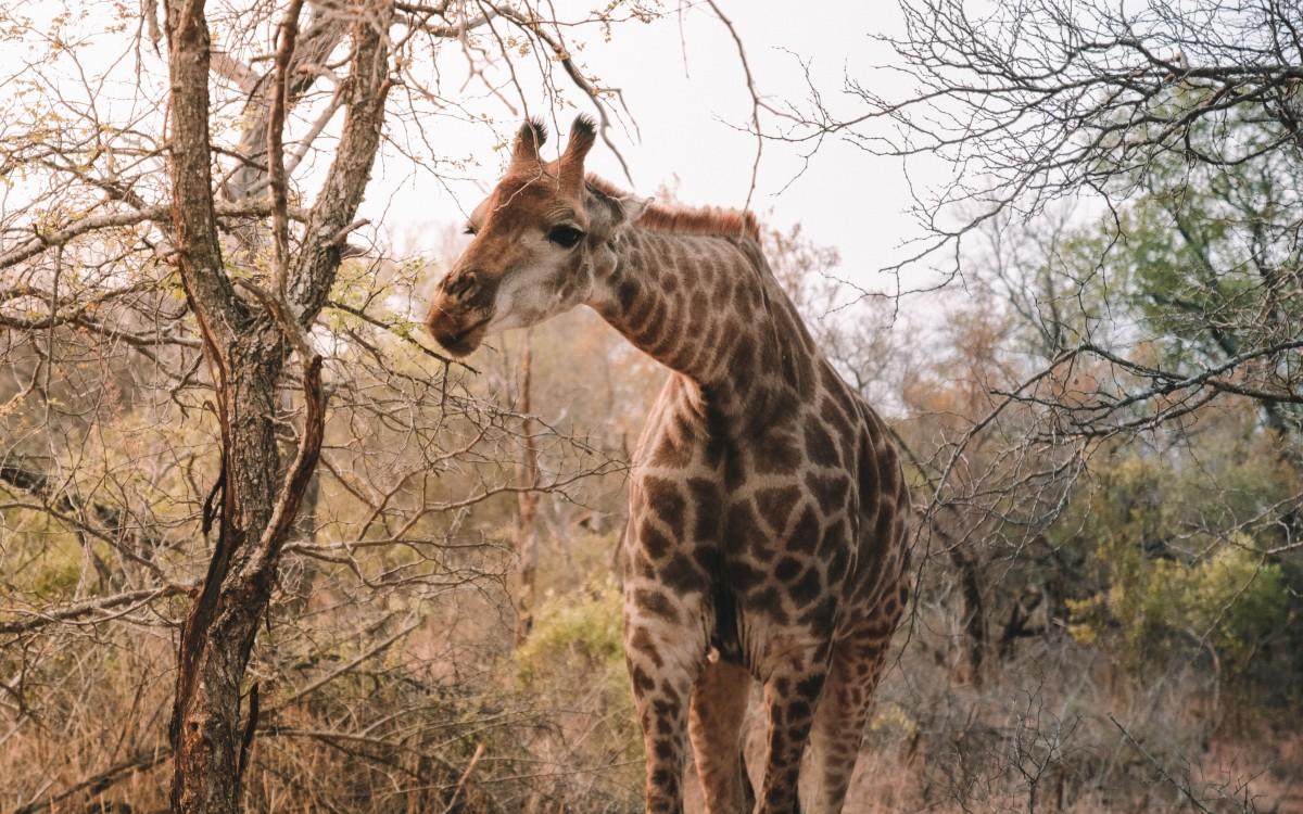 giraffe karongwe reserve