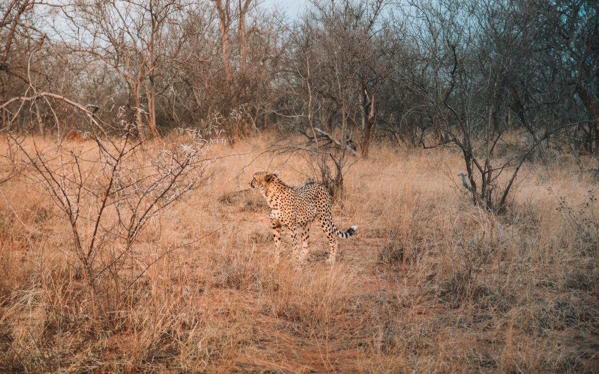 ghepardo safari africa