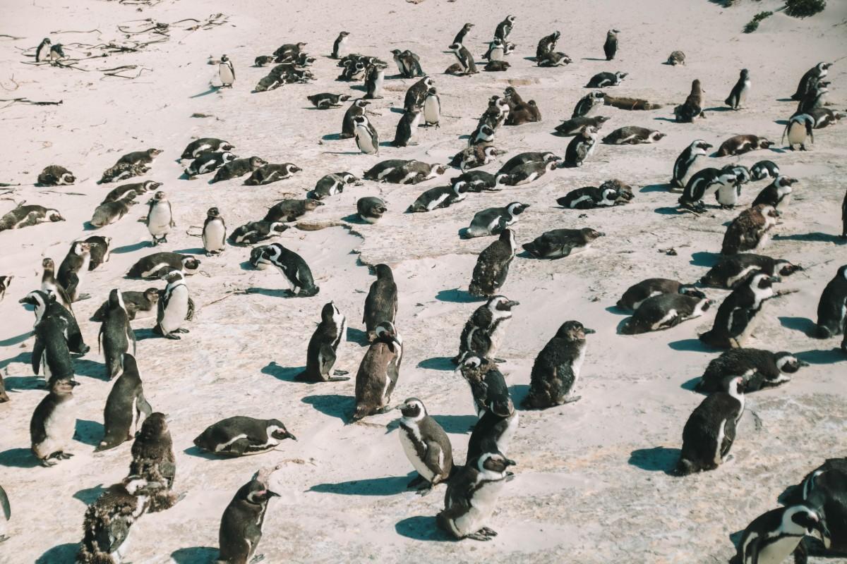 boulders beach pinguini colonia