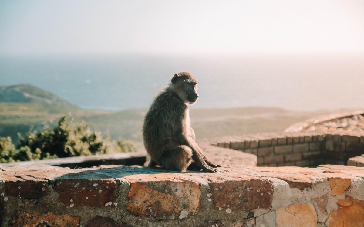 babbuini cape point