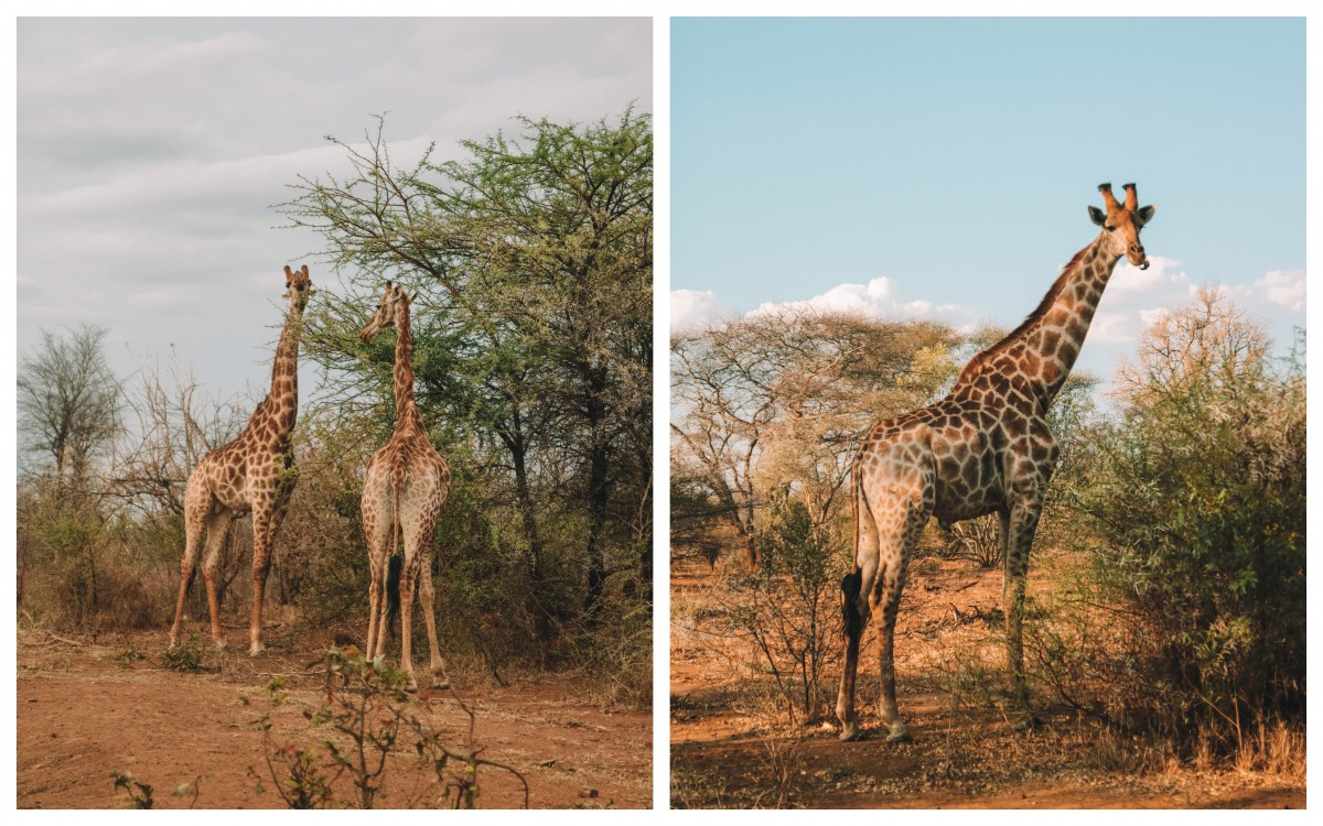 giraffe karongwe