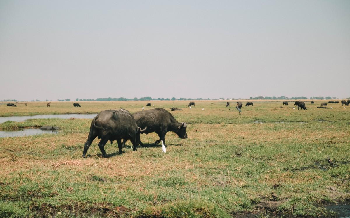 buffalo chobe national park